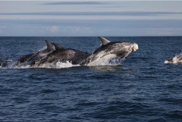 Rissos dolphin - photo#52