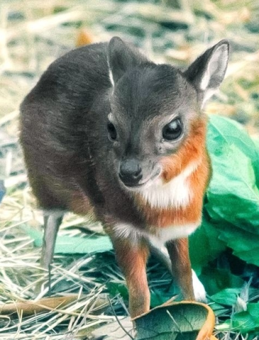 Royal Antelope