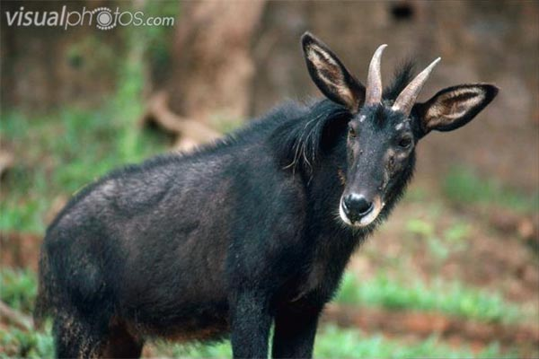 Serow Facts History Useful Information And Amazing Pictures