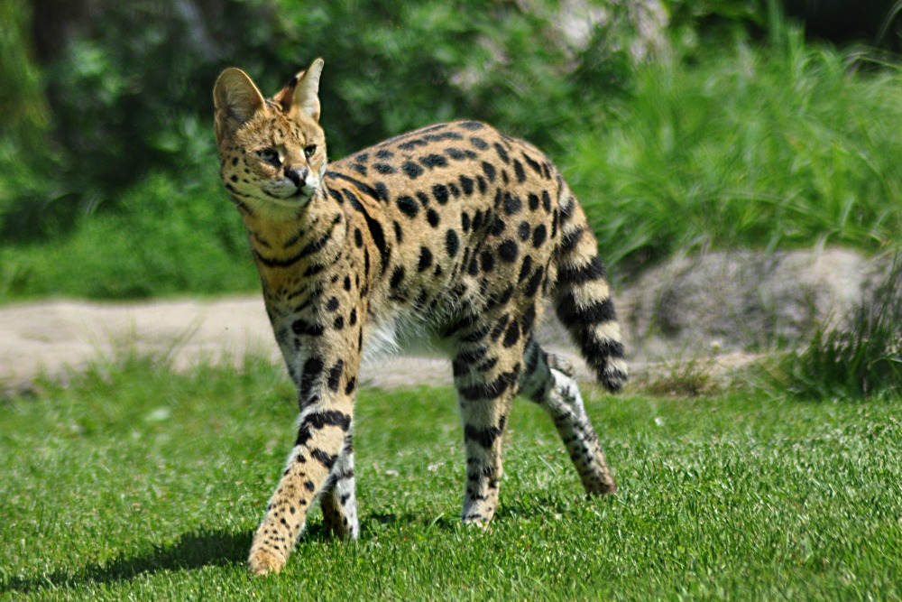 Best Exotic Pet Cats