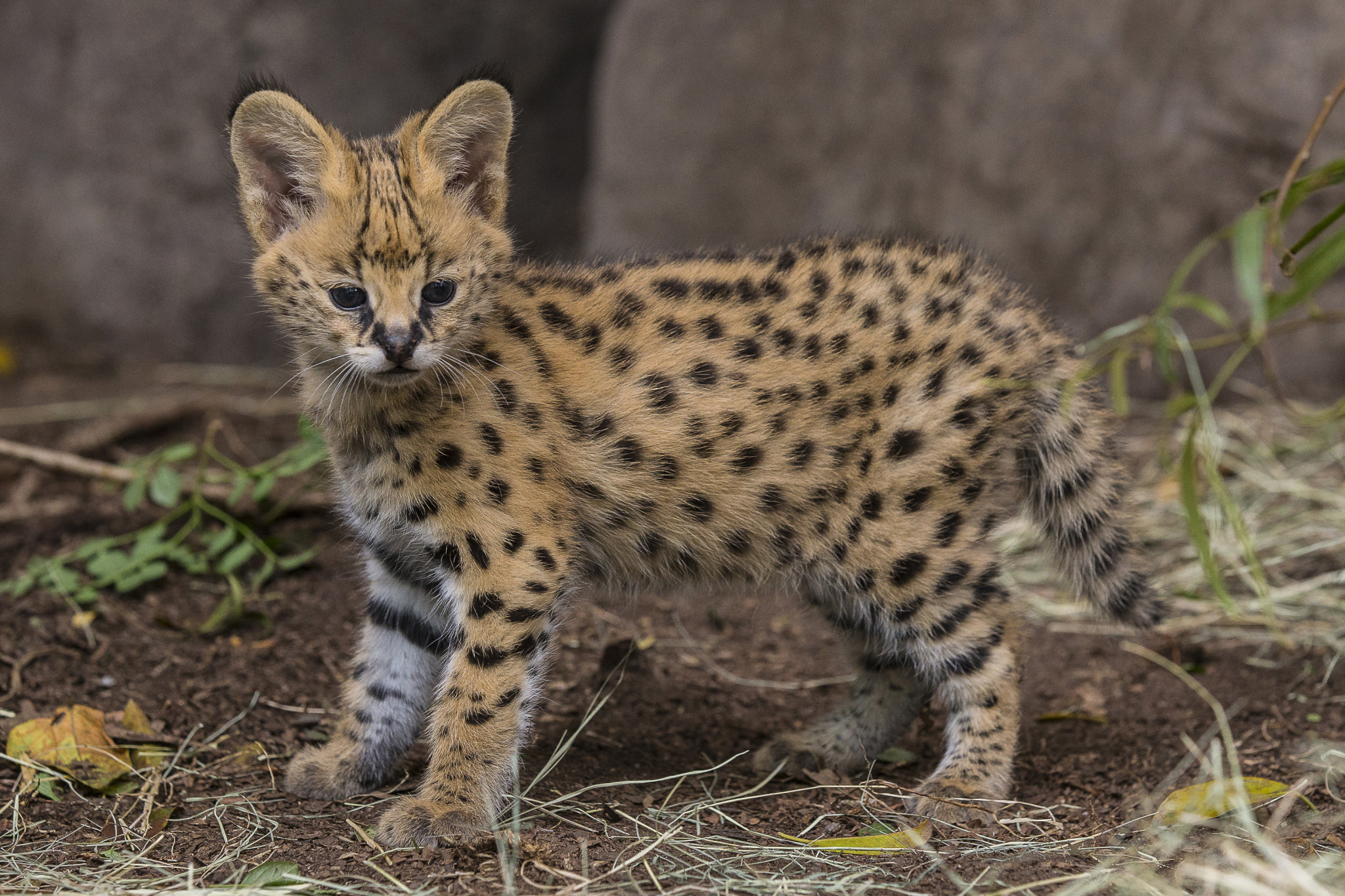 serval facts history useful information and amazing pictures