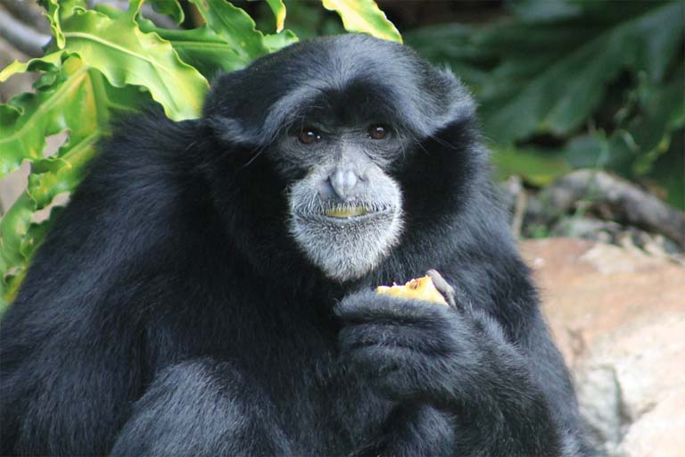 siamang facts  history  useful information and amazing pictures