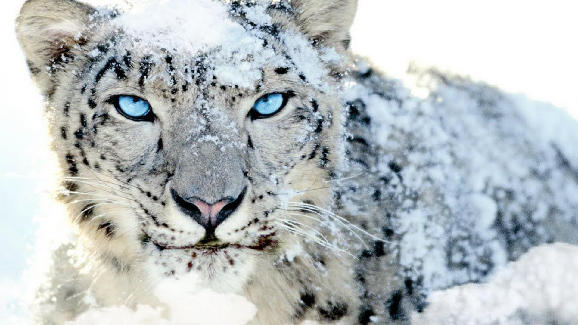 my painting of a snow leopard : pics