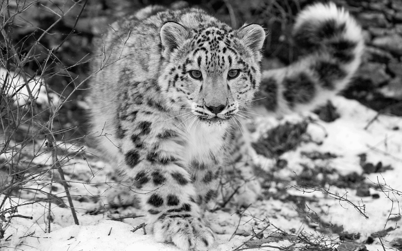 snow leapord For more than 10 years, shafqat hussain has been on the trail of the endangered snow leopard he has heard the beast's growl, and has seen its pugmarks against a snowy track but his dream, of coming eye-to-eye with the elusive nocturnal feline, remains unfulfilled if you've seen the cat, you've seen.