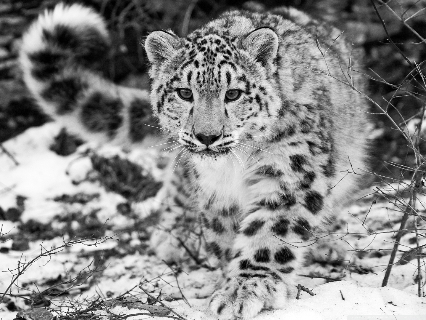 Snow Leopard Facts History Useful Information and Amazing Pictures