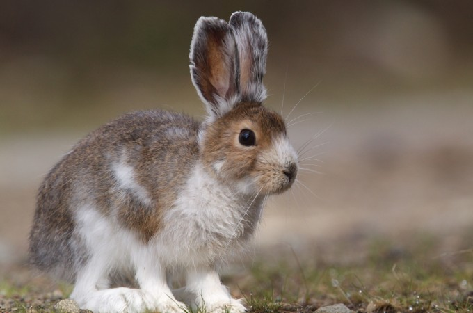 Snowshoe Hare Facts, H...