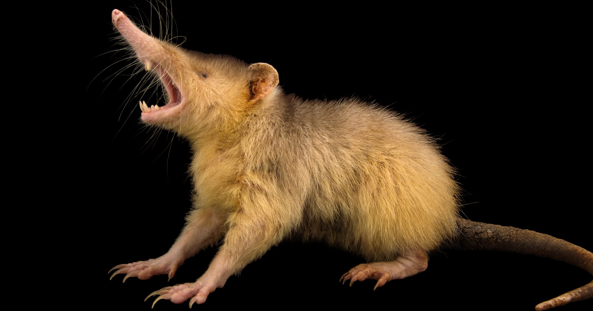 Solenodon Facts History Useful Information And Amazing