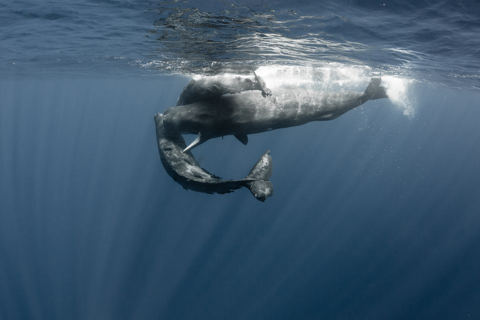 Habitat of the pygmy sperm whale #2