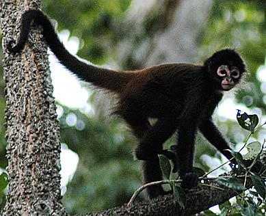 spider monkey research paper Memetic comp (2014) 6:31–47 doi 101007/s12293-013-0128-0 regular research paper spider monkey optimization algorithm for numerical optimization.