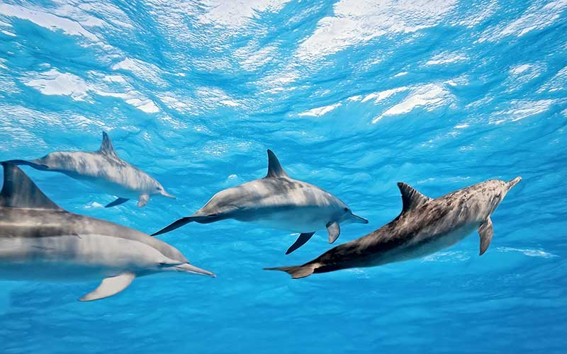 Spinner Dolphin Facts History Useful Information And