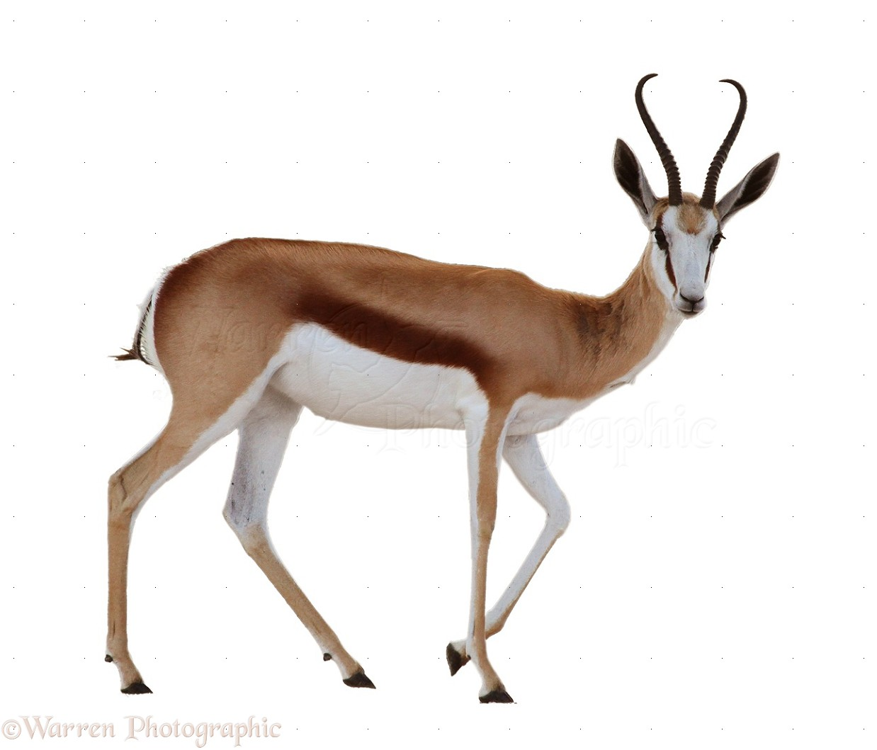 clipart springbok - photo #9