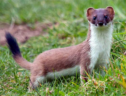 Baby short tailed weasel - photo#43