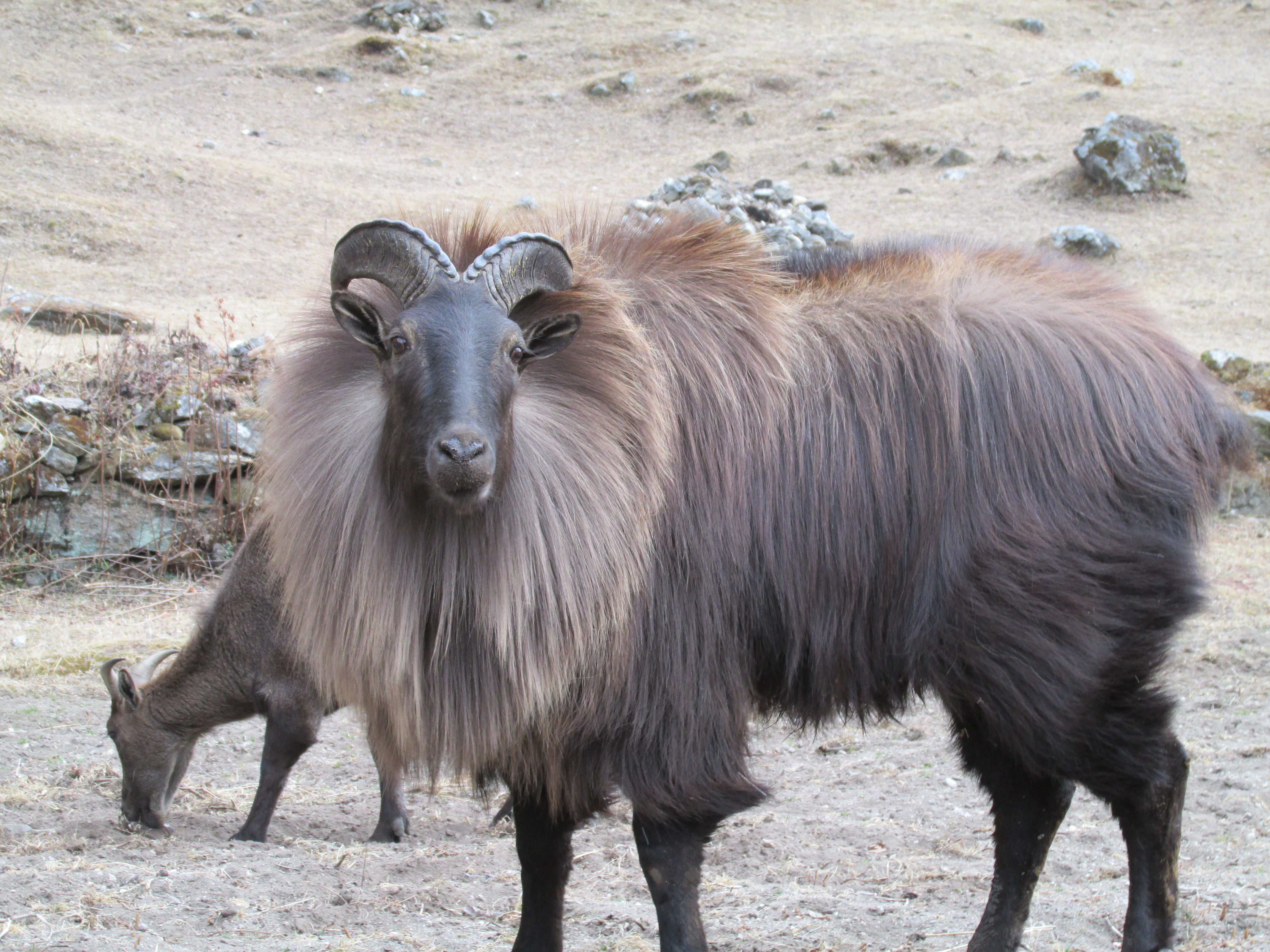 Tahr Facts, History, Useful Information and Amazing Pictures