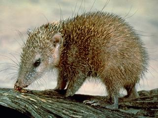 Tailless Tenrec