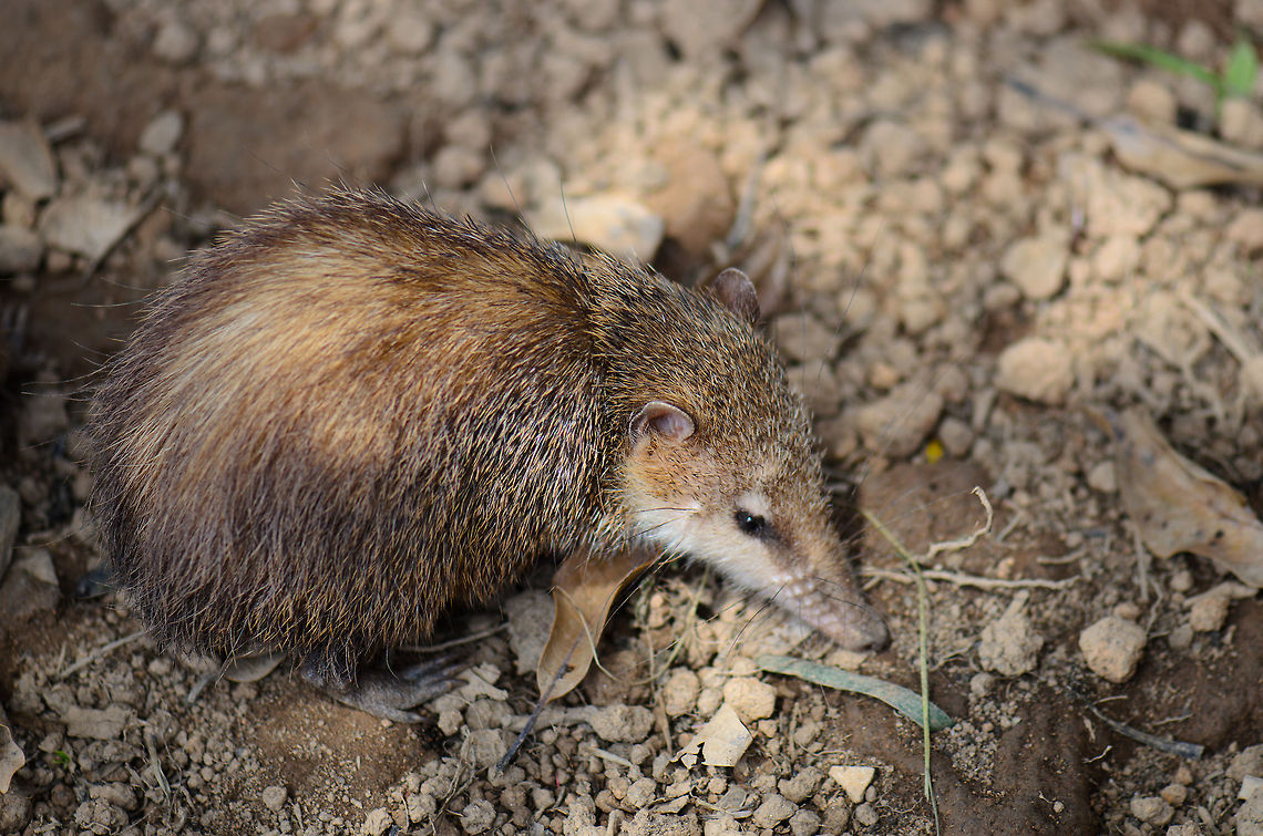 Tailless Tenrec Facts History Useful Information And