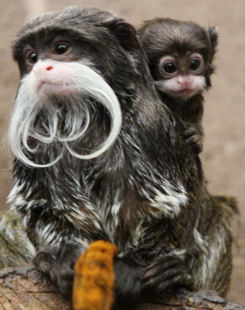 Bearded Emperor Tamarin Facts: Animals of South America