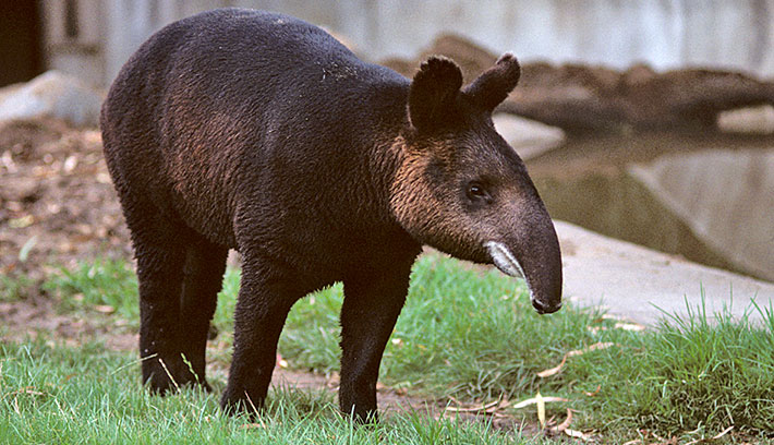 tapir facts  history  useful information and amazing pictures
