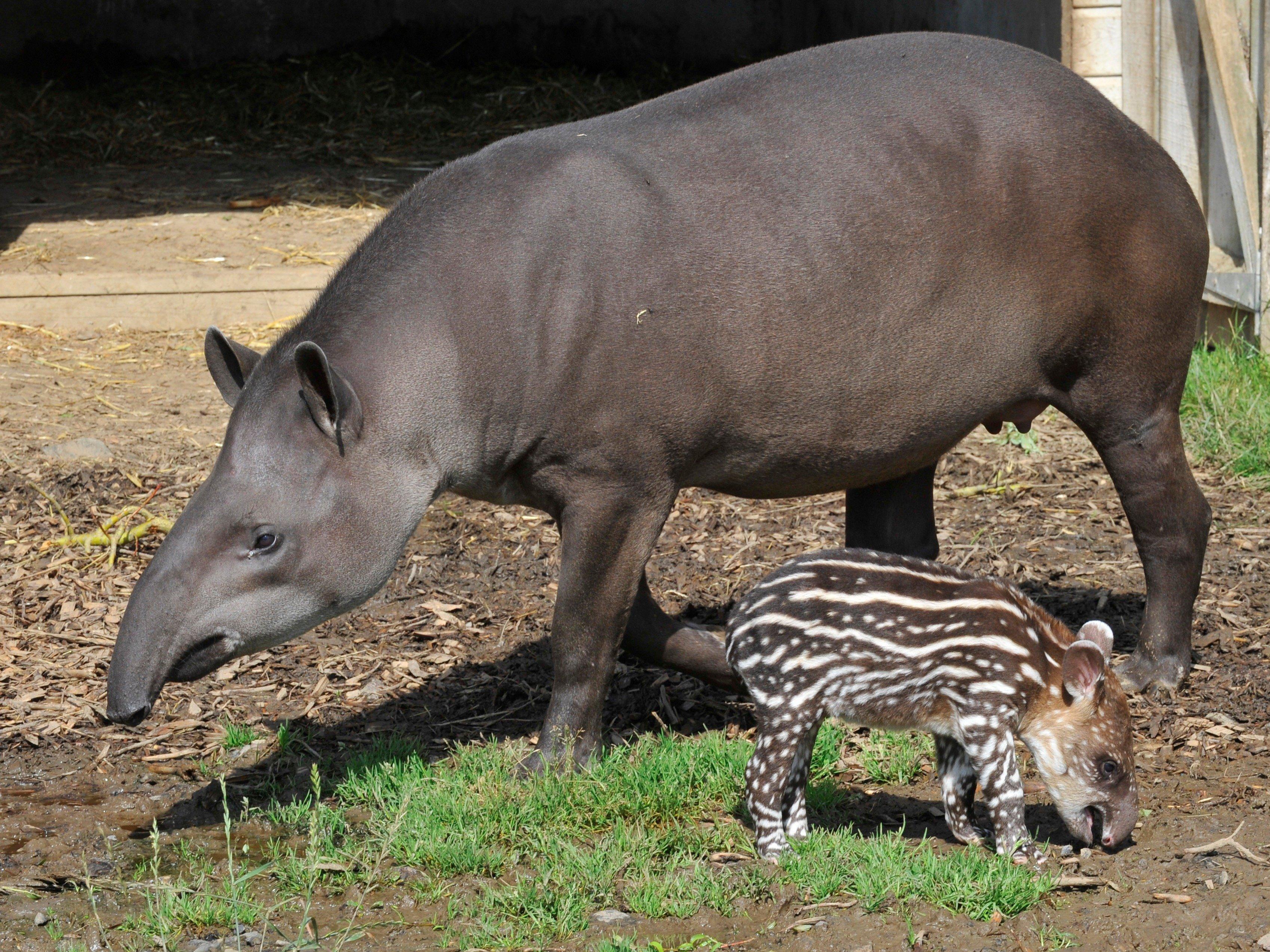 tapir pik