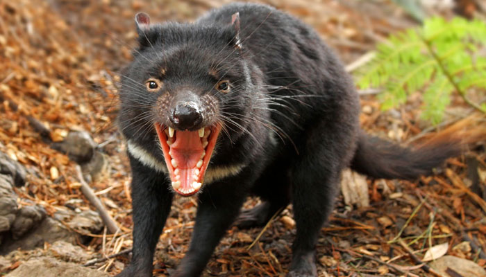 Tasmanian devil facts history useful information and amazing pictures - Tasmanian devil pics ...