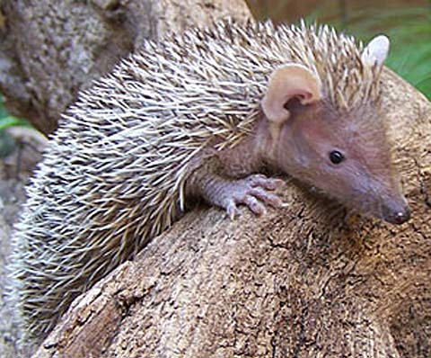 Tenrec Facts History Useful Information And Amazing Pictures
