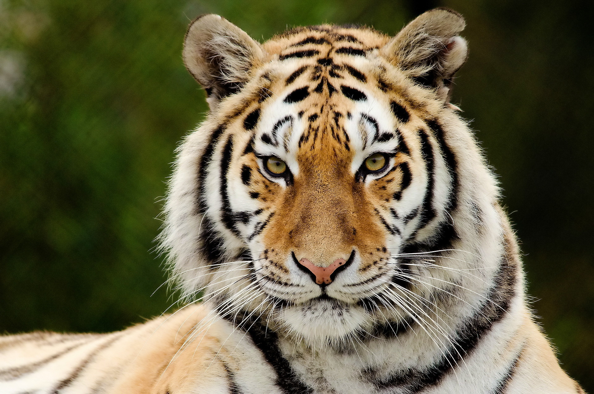 tiger facts history useful information and amazing pictures