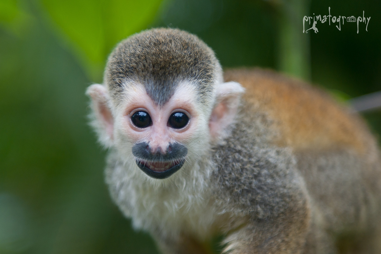 titi monkey facts history useful information and amazing pictures