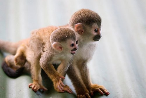 titi monkey facts history useful information and amazing
