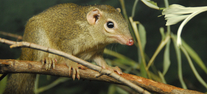 Tree Shrew