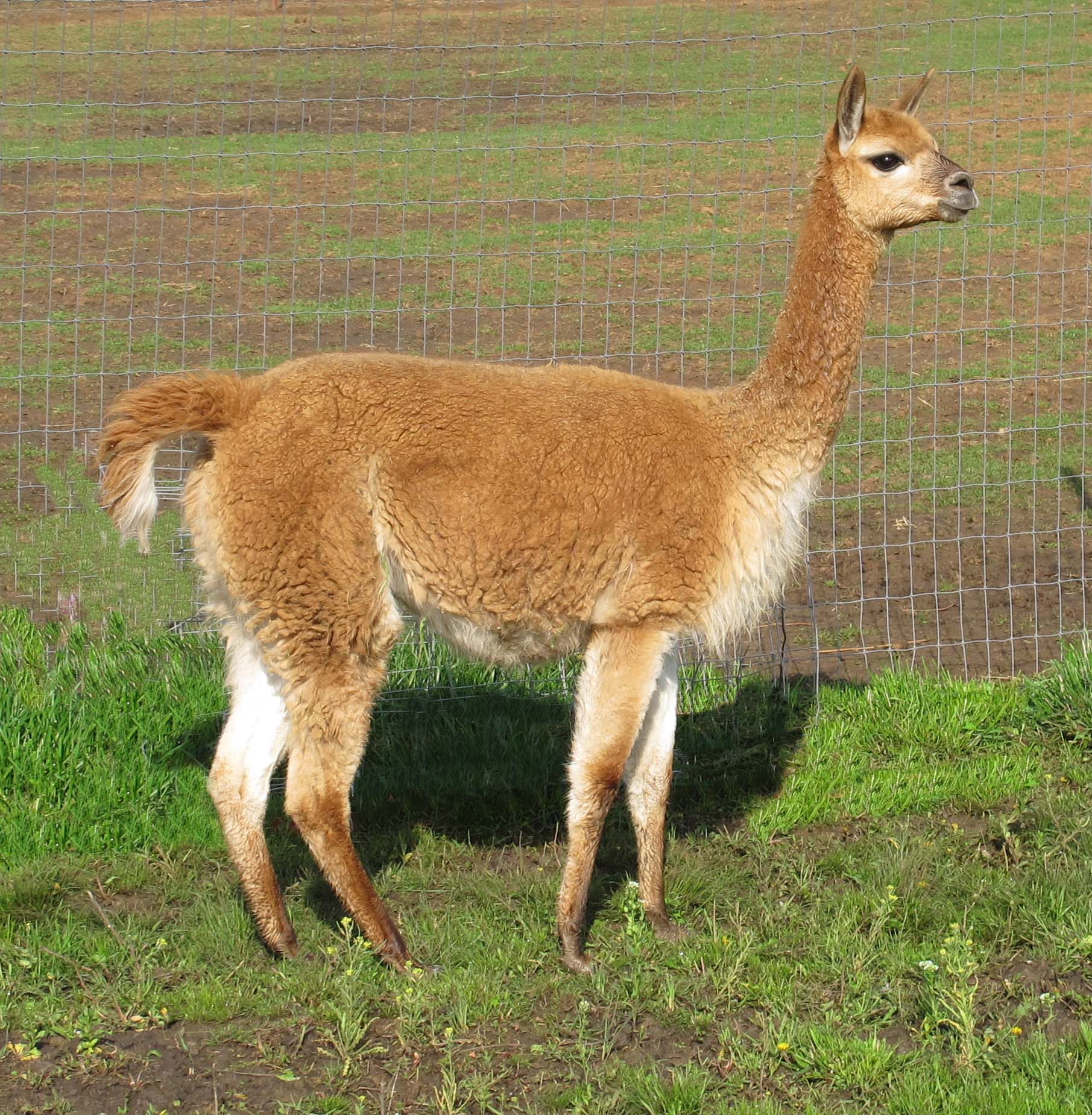 Vicuna Facts, History, Useful Information and Amazing Pictures Oriental Cat Lifespan