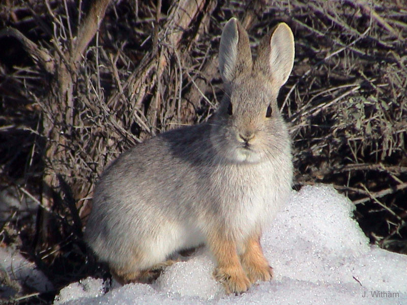 Volcano Rabbit Facts, History, Useful Information and ...