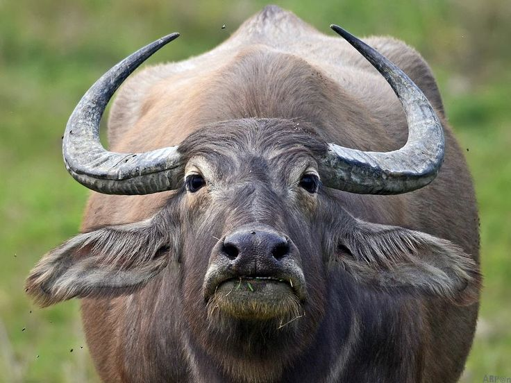 Water Buffalo Facts History Useful Information And