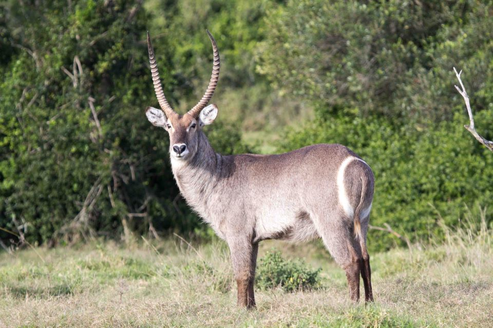 Waterbuck Facts History Useful Information And Amazing
