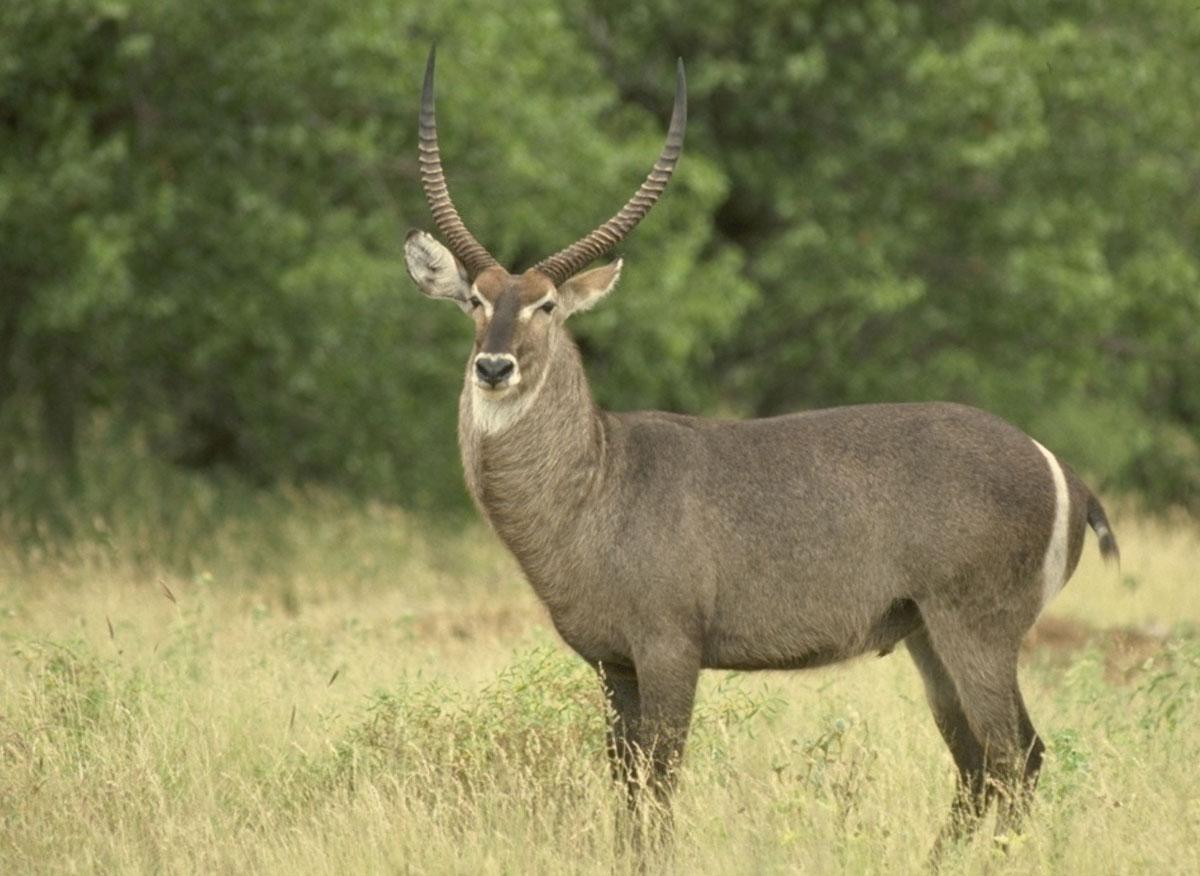 Image result for defassa waterbuck
