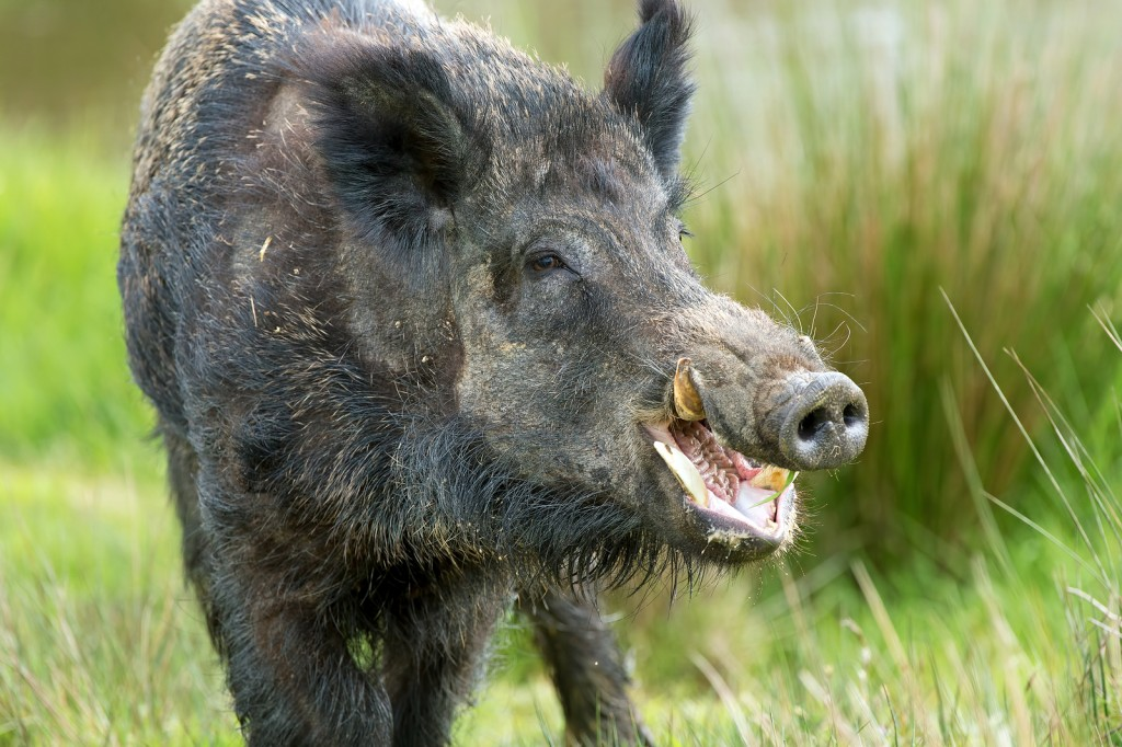 wild boar facts history useful information and amazing
