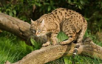 How Long Is The Gestation Of A Chinese Mountian Cat
