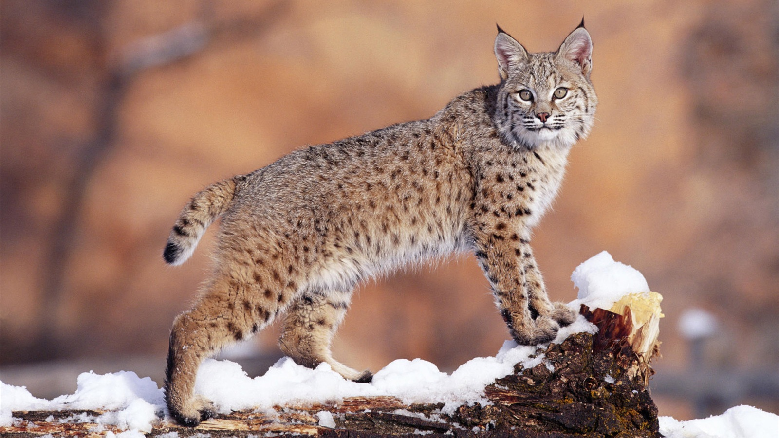 wildcat facts history useful information and amazing