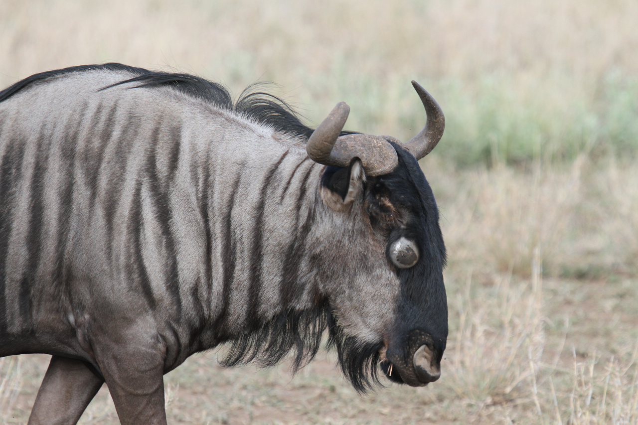 Wildebeest Facts History Useful Information And Amazing