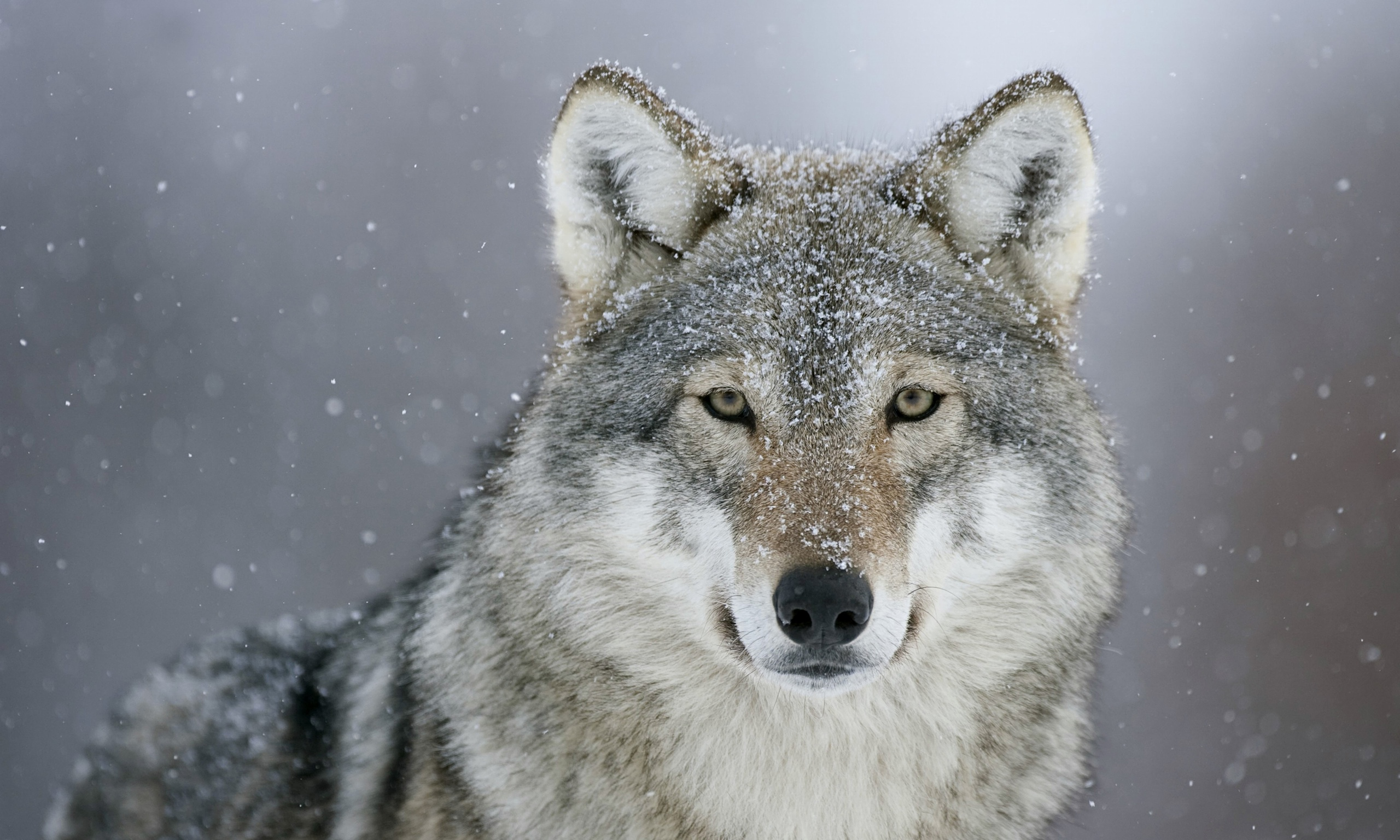 Wolf Facts, History, Useful Information and Amazing Pictures