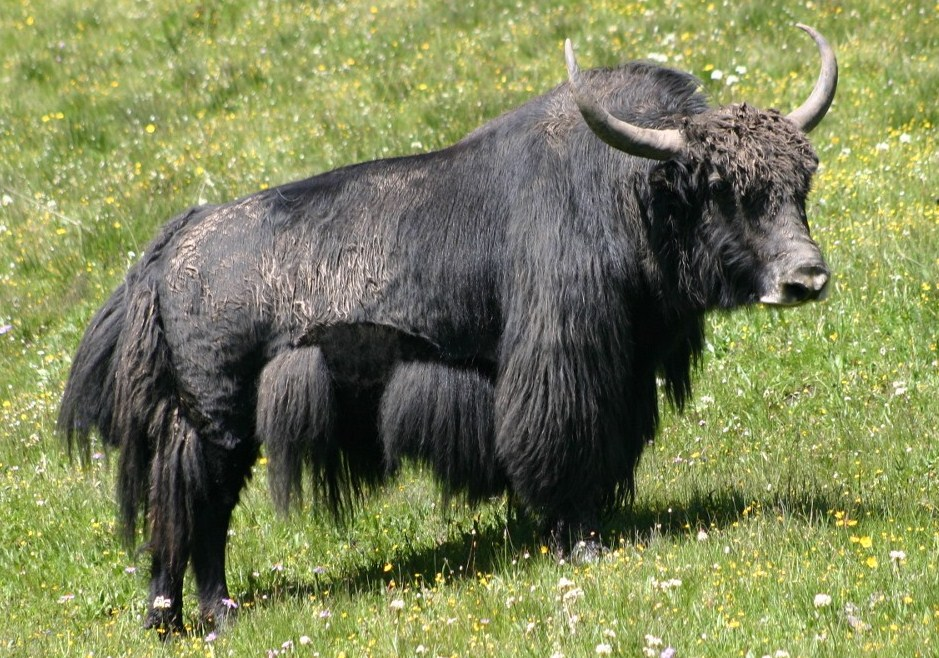 Yak Facts, History, Useful Information and Amazing Pictures