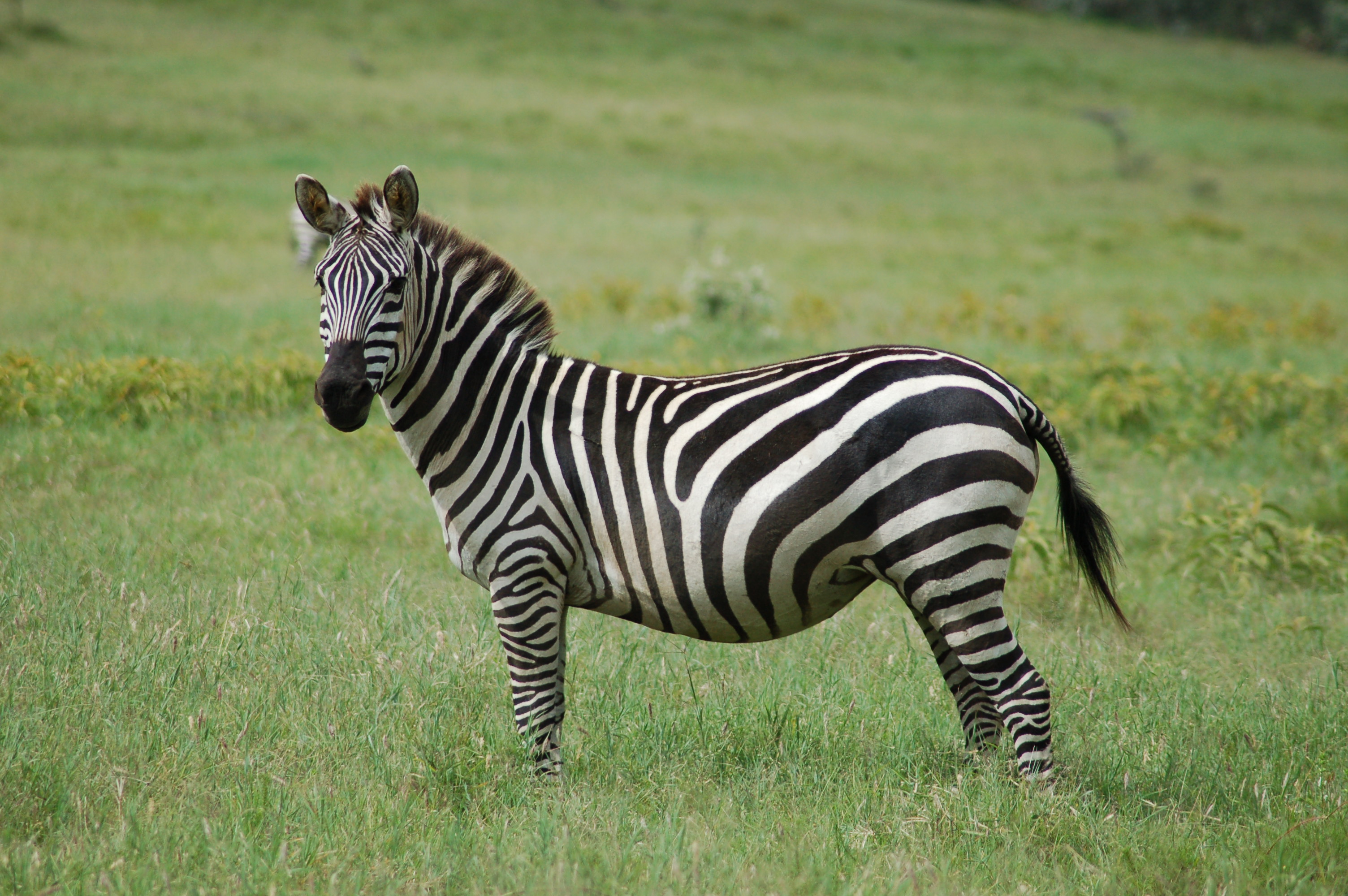 Zebra Facts, History, Useful Information and Amazing Pictures Oriental Cat Lifespan