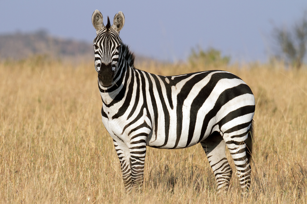 Zebra Facts, History, Useful Information and Amazing Pictures